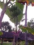 Очень много плодовых деревьев на территории отеля. Жаль, зеленые.