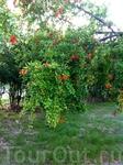 Цветущее дерево в Сочи