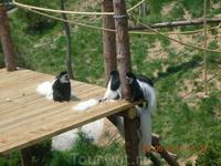 Очень красивые обезьянки