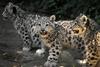 Фотография Земля леопарда