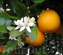 Испанский апельсин.