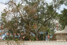 дерево Бо (точнее его отросток, привезенный принцессой из Индии) под которым достиг нирваны Будда...само дерево в Индии не сохранилось