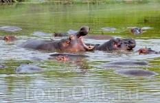 После заповедника Масаи Мара мы отправились к пресноводному озеру Найваша. У берегов обитают группы бегемотов, которые невероятно быстро плавают под водой.