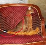 Моя абиссинская кошка Беатрис принимает активное участие в детском Рождественском празднике. Год Кота, все-таки! :))