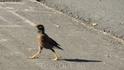 Про птиц надо сказать отдельно..большое количество практически не летает..они реально ходят по дороге...и их пропускают... :)