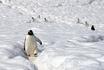 Пингвины прокладывают собственные тропинки в снегах Белого континента.