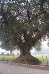 забавное дерево на территории красного форта