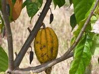 Какао бобы.