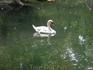 Воронцовский парк. На Лебедином озере практически постоянно начиная с обустройства дворца и парка живут лебеди. Только в годы Великой Отечественной войны ...