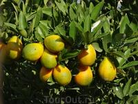 Зреют лимоны-солнышки... Яффа.