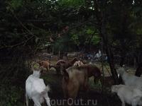 болгарские козлы
