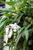 Разновидность орхидеи.