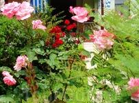 цветущие розы в Мармарисе