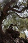 о. Закинтос. Остров пестрит оливковыми рощами. Оливковому дереву на фотографии около 1 тыс. лет