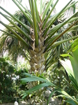 пальма которой уже много лет.парк Нонг-нуч