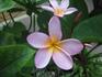 цветок frangipani