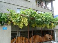 А это местный виноград, на вкус не пробовали, но выглядит аппетитно