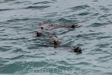 Котики активно ныряли и плавали в волнах Тихого океана.