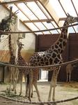 Эти жирафы находятся в закрытом помещении, где теплее, здесь в основном мамочки и малыши
