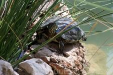 Вот они и черепахи. Это Малая из взрослых.