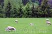 эти овчки весьма популярны у фотографов :)) они попадают в кадр всех, кто проезжает по Фломской железной дороге