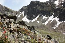 рододендрон, Alpenrose