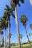 королевская пальма - один из символов Кубы