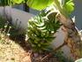 банановые деревца