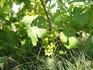 зреет виноград...