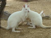 ни разу не видела белых кенгуру :)