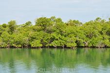 мангровые заросли в Карибском море