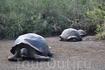 Гигантские черепахи расположились в зарослях кустарника на территории научной станции Ч. Дарвина
