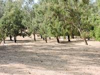 Леса аргании