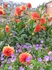 Цветы Тиволи