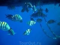 Русские  называют этих рыбок- Желтые полосатики)))