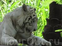 А это белый тигр. Симпатичная киска.