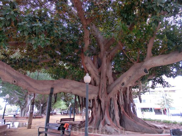 В Аликанте меня потрясли две вещи. Первая - это гигантские фикусы. Они растут во всех парках и скверах города. Воздушные корни постепенно врастают в землю и фикусы превращаются в некое подобие баобабов. Этот экземпляр - самый огромный из увиденных.