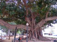 В Аликанте меня потрясли две вещи. Первая - это гигантские фикусы. Они растут во всех парках и скверах города. Воздушные корни постепенно врастают в землю и фикусы превращаются в некое подобие баобабо