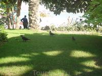 Вороны такие же как во всем мире, едят картошку-фри