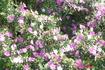 Цветы Бразилии