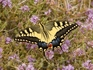 Местный колорит - бабочка Махаон.