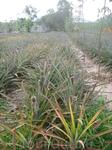 ананасовые плантации нам даже было позволено попробовать ананас практически с грядки)