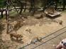 львы и тигры - все вместе в вольерах