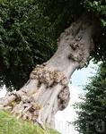 Такое дерево вызывает уважение