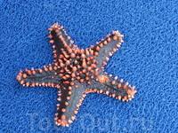 Морская звезда, добыча при снорклинге