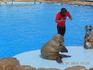 Морской лев дудит в дудочку.