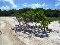 И еще мангры