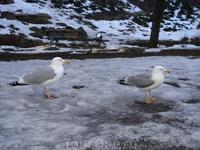 Важные эстонские чайки.