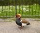 Уточка- мандаринка в Сент-Джеймс парке.