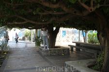 Галилея. Вокруг церкви Собора 12 апостолов растут необыкновенные деревья с мощной кроной.